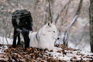 Cuento indio de los dos lobos